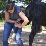 Chiropraktische Technik am Pferd.
